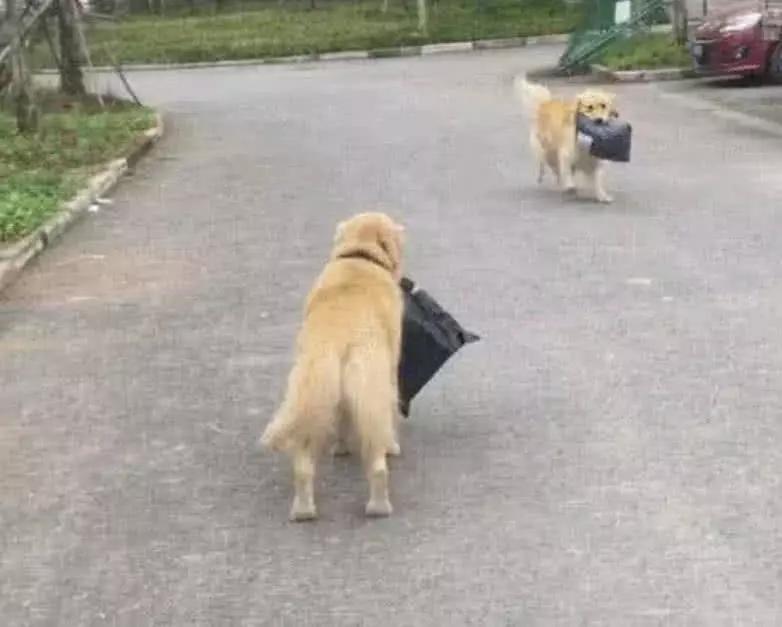 """金毛下楼取快递,遇见相同遭遇的""""同胞"""",狗狗:确认过眼神"""