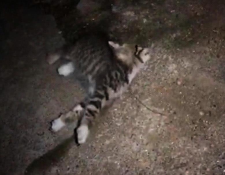 被工具拉长脖子猫咪很痛苦,本以为虐猫,得知真相感动!