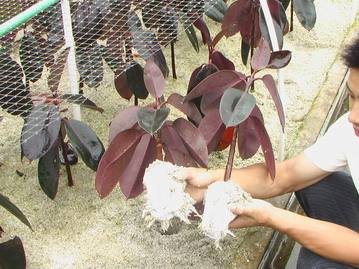 扦插橡皮树,枝条,叶子都生根,一个枝子变十盆