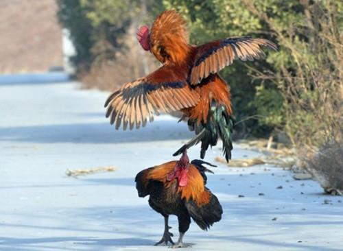 农村养鸡为何只养一只公鸡,母鸡却养一大群?
