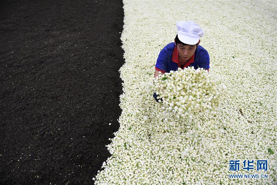 在广西横县一家茶业企业,工人在生产加工茉莉花茶(6月20日摄)。
