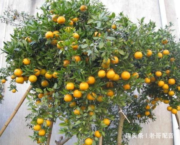 金桔是一款家常菜品,可以制作原料!