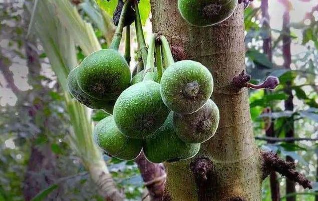 农村里的这种野果是土制果冻的最佳原料,可惜至今却无人问津
