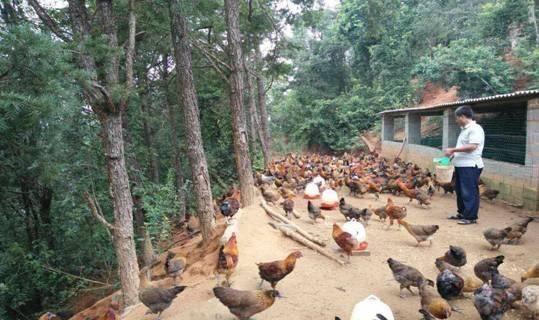 农村养鸡时,为什么养一群母鸡,却只养一只公鸡?老农说出答案
