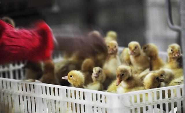 养鸡技术|肉用鸡育有雏前的准备工作