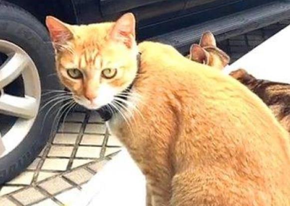"""橘猫在车上睡觉,睡着后摔成一个""""猫饼"""",以后都抱着天线睡"""