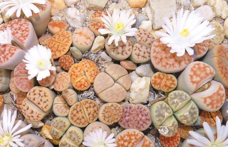 见过石头开花吗?这颗奇怪的卵石开出的花真美