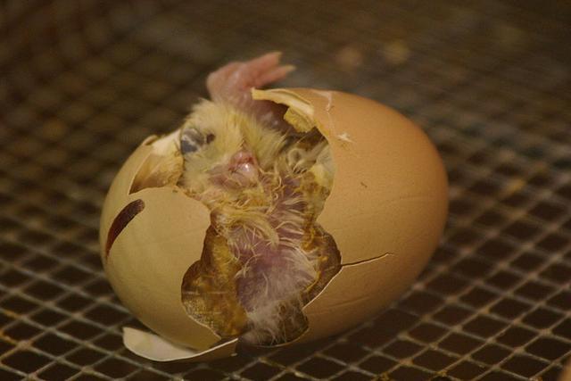 这种家禽每年有超过500亿只被人类吃掉