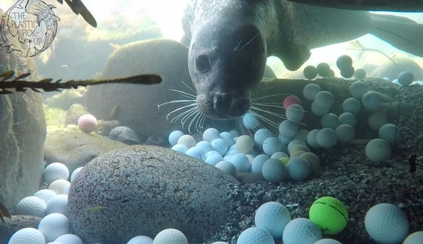 """海底""""一片白""""爆满高尔夫球 海豹悲鸣 高中生2年捞出5万颗"""