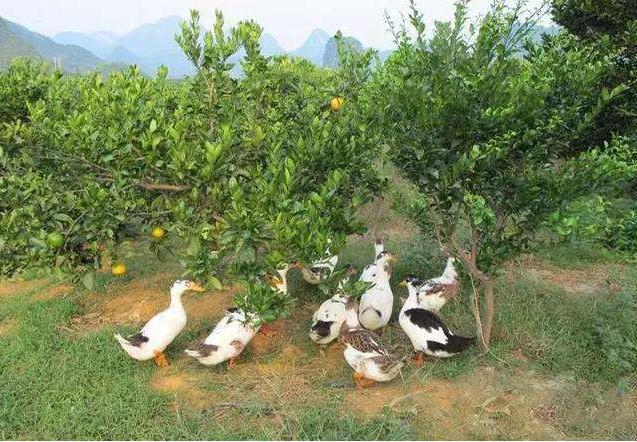 果园当中除了养鸡,还可以养鸭子,好处真是有不少