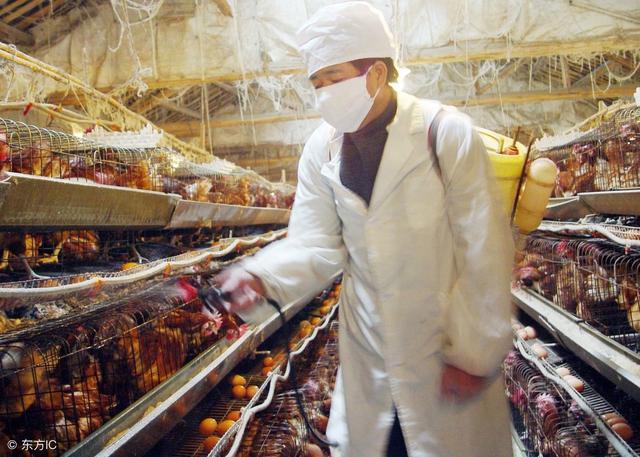 养鸡技术:鸡得了大肠杆菌病有哪些症状?