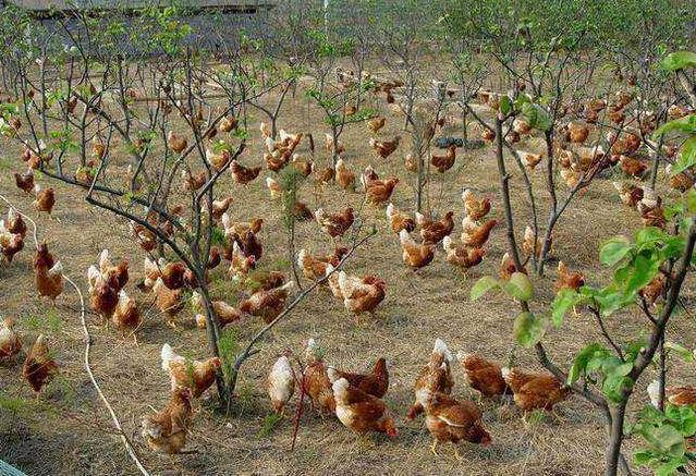 想开始从事养鸡,要做好这些准备,硬件软件都得有