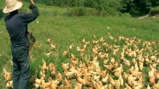 养鸡看似不难,放养就能养的很好,其实里面也有很多小技巧