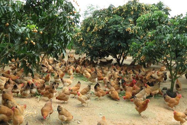 冬天来了,养鸡户们如何预防鸡群感冒?来试试中药养殖吧