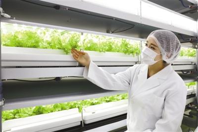 """采用人工光照  实现自动化种植 日本""""植物工厂""""在城市地下种菜"""
